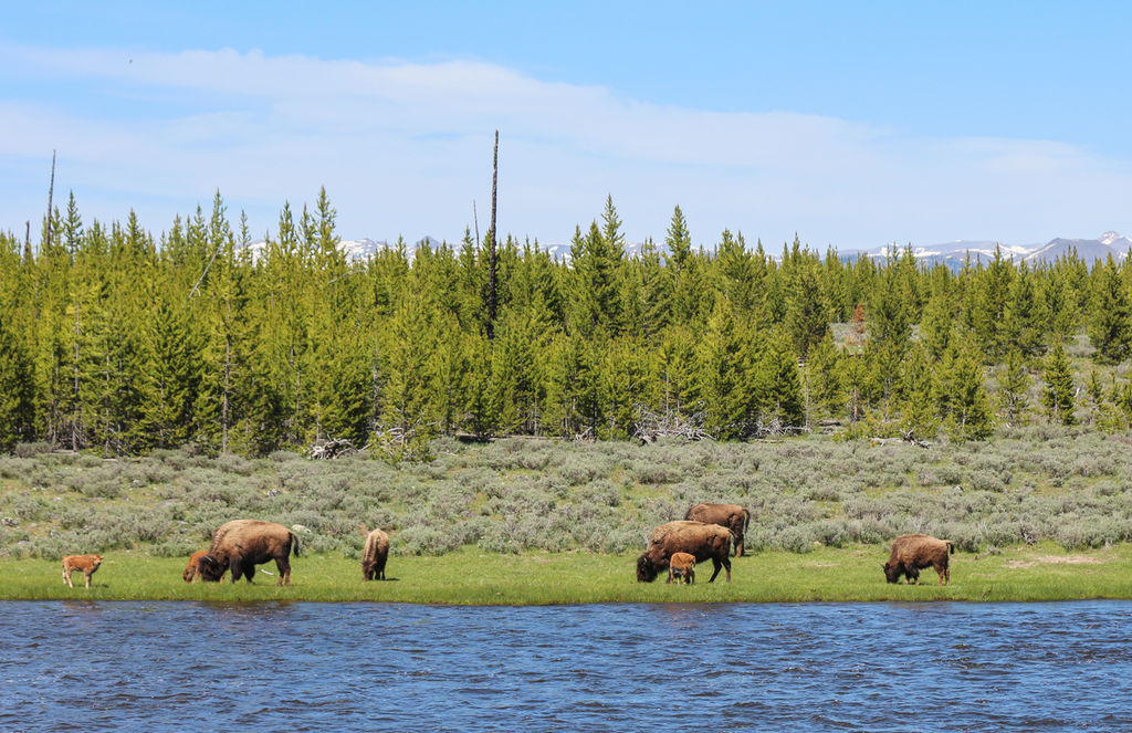 Dncynpbaby bison madison river 06 2014