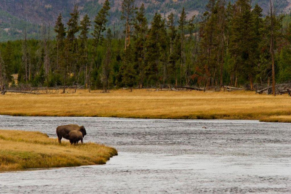 Buffalo edge of stream